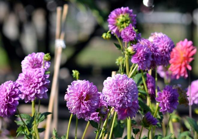 Dahlia-Purple