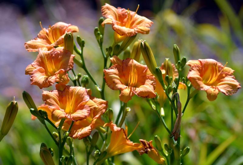 daylilies-02_7_13