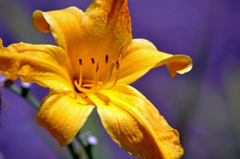 Daylily-Yellow-2