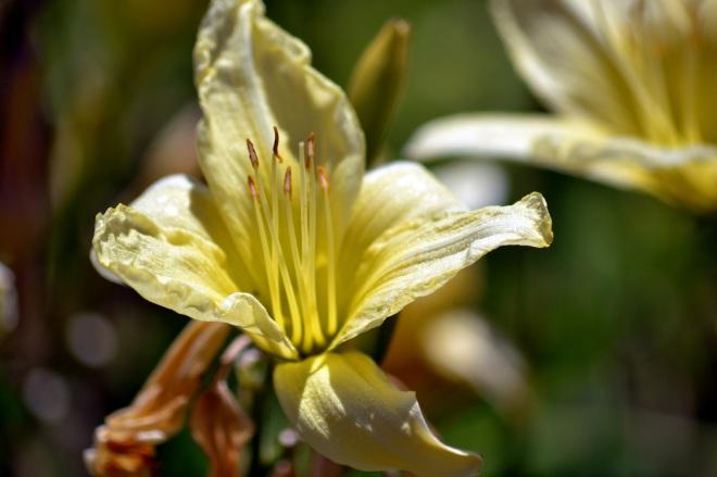 Daylily-Yellow-6