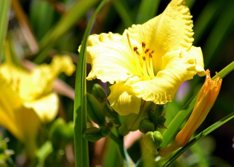 Daylily-Yellow