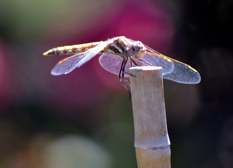 DragonFly-3_7_13