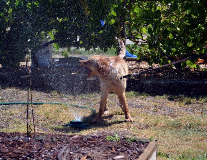 Ginger-Sprinkler-2