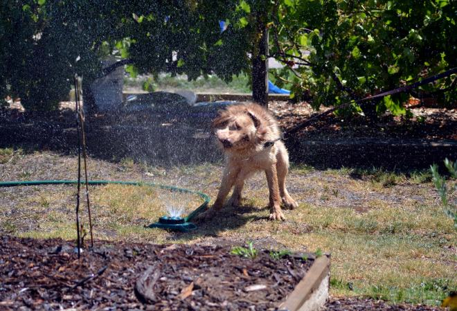 Ginger-Sprinkler