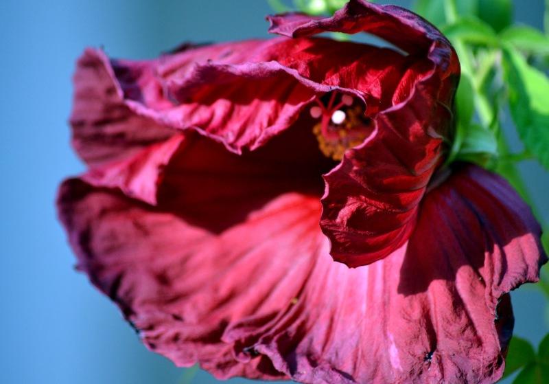 Hibiscus2-7_13