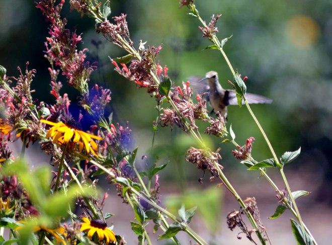 Hummingbird-1_7_13