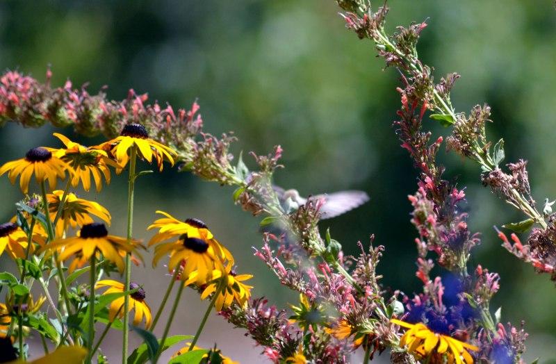 Hummingbird-Angelic