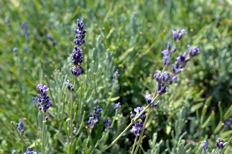 Lavender-Purple