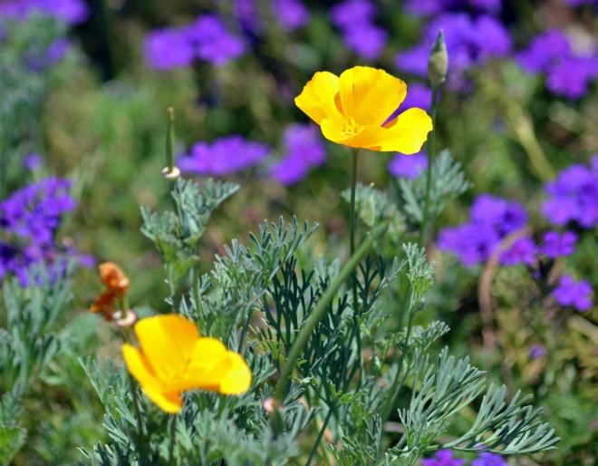 Poppy-Yellow