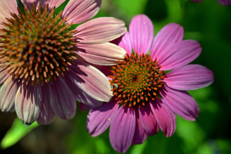 Purple-Coneflower-3
