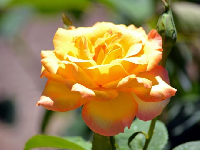 Rose-Yellow-2