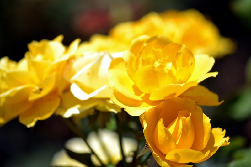 Rose-Yellow-3