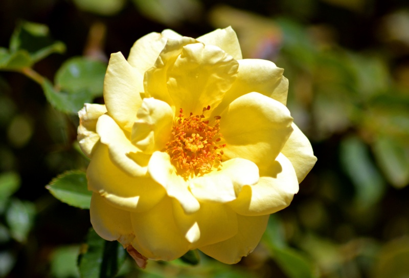 Rose-Yellow