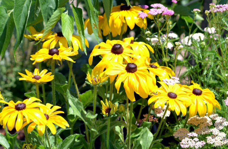 Rudbeckia-Butterfly-Bed-1_7_13