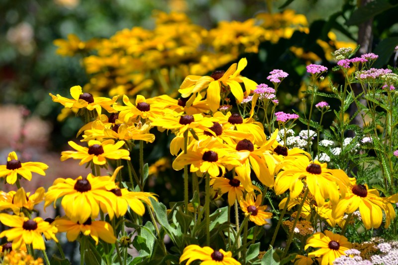 Rudbeckia-Full2-7_13