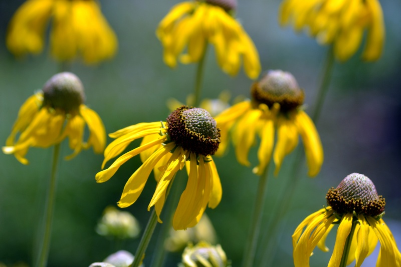 Rudbeckia-Yellow-1