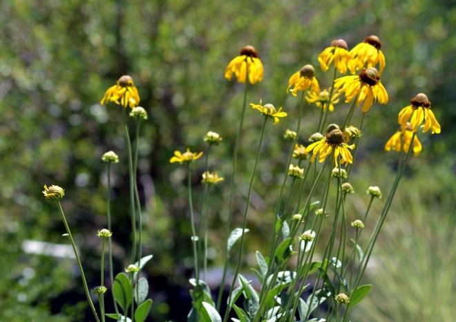 Rudbeckia-Yellow-2