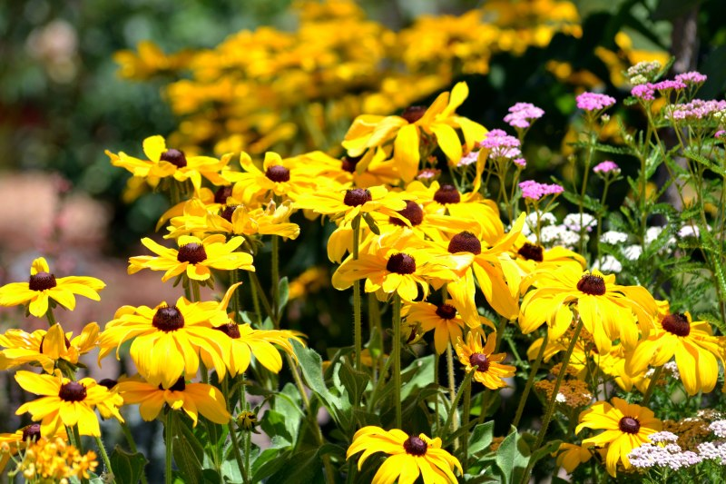 Rudbeckia-Yellow-4