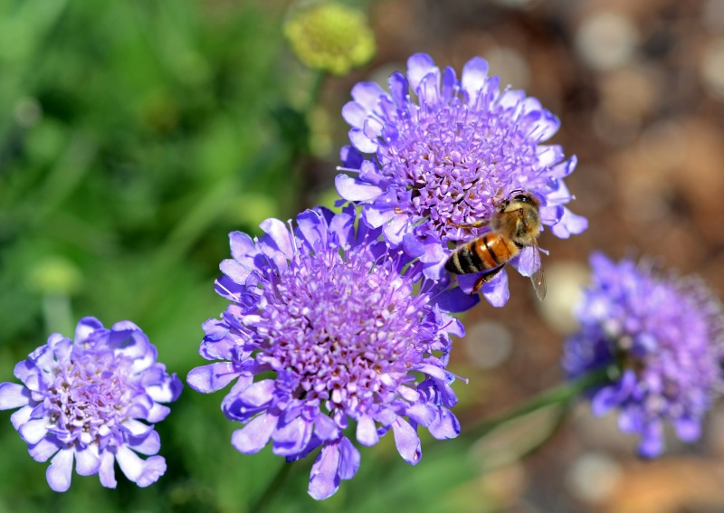 Scabiosa-Purple