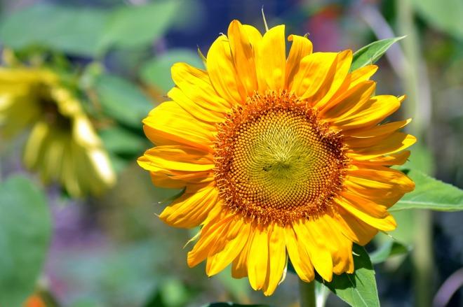 Sunflower-01_7_13