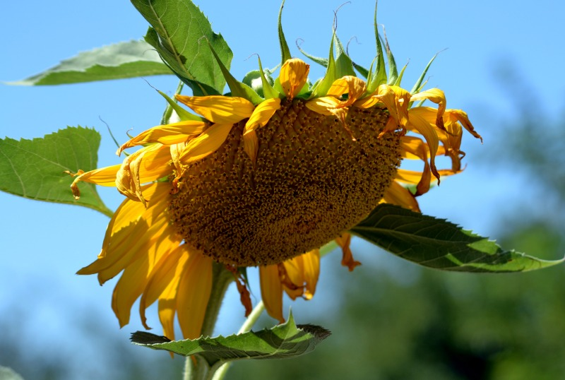 Sunflower-02_7_13