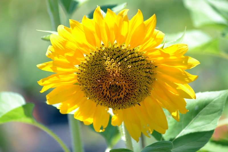 sunflower-late-7_13