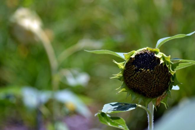 Sunflower-Wilted-2-7_13