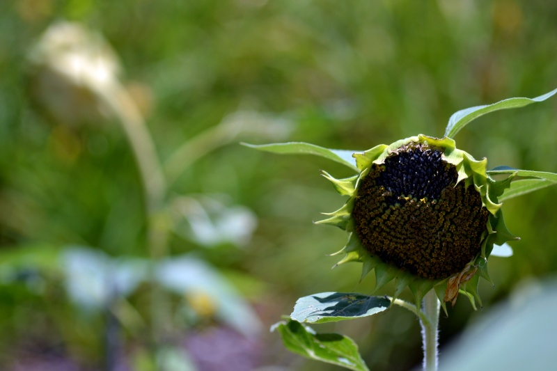 Sunflower-Wilted-2-7_13