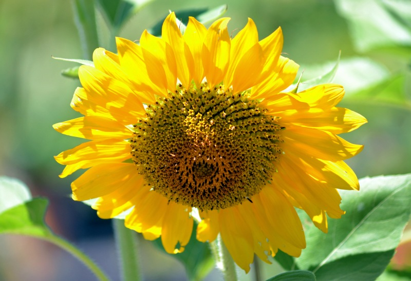 Sunflower-Yellow-2