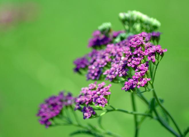 Yarrow-Purple