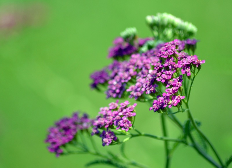 Yarrow-Purple