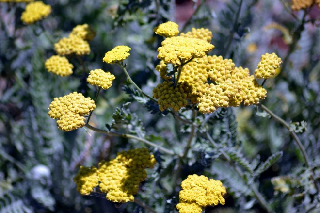Yarrow-Yellow