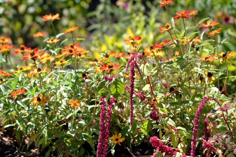 Amaranthus-Zinnia