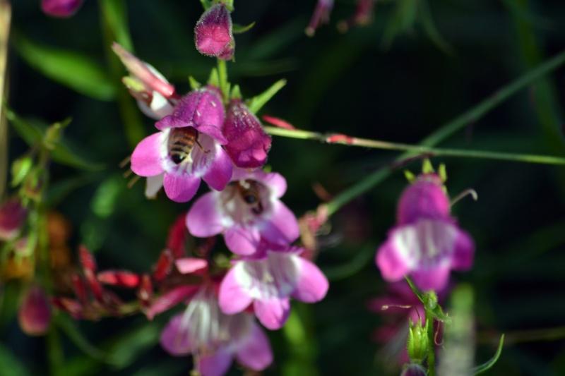 Bee-Penstemon-8_13