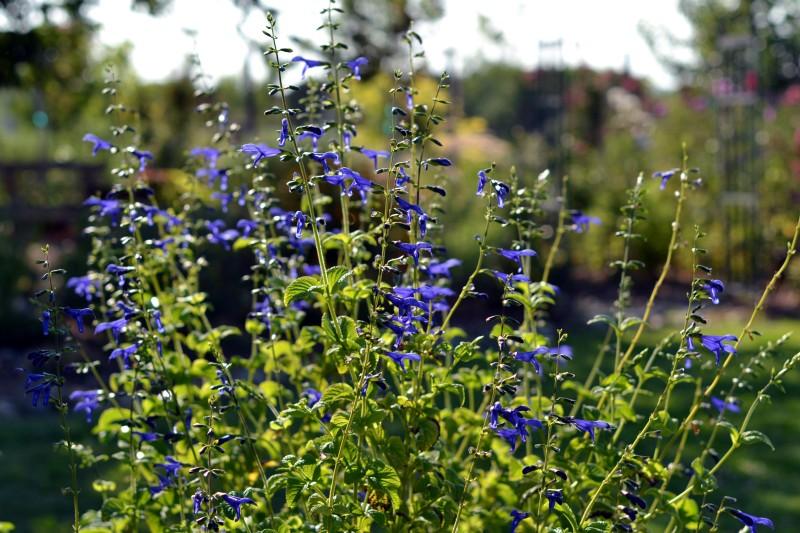 Blue-Sage-8_13