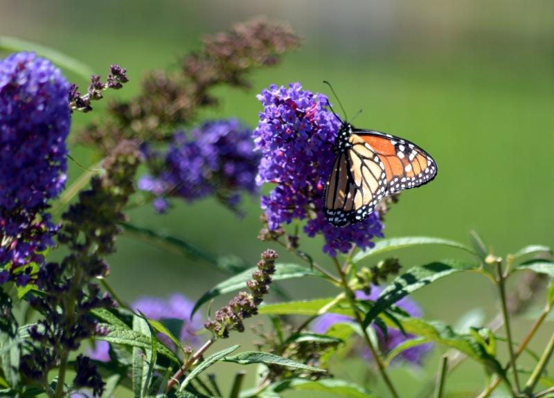 Butterfly-1-8_13