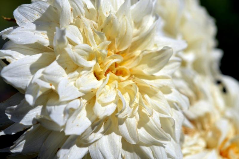 Dahlia-White-8_13