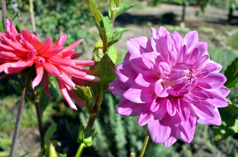 Dahlias-Pinks-8_13