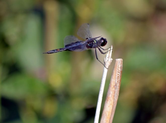 Dragonfly-Evening-8-13
