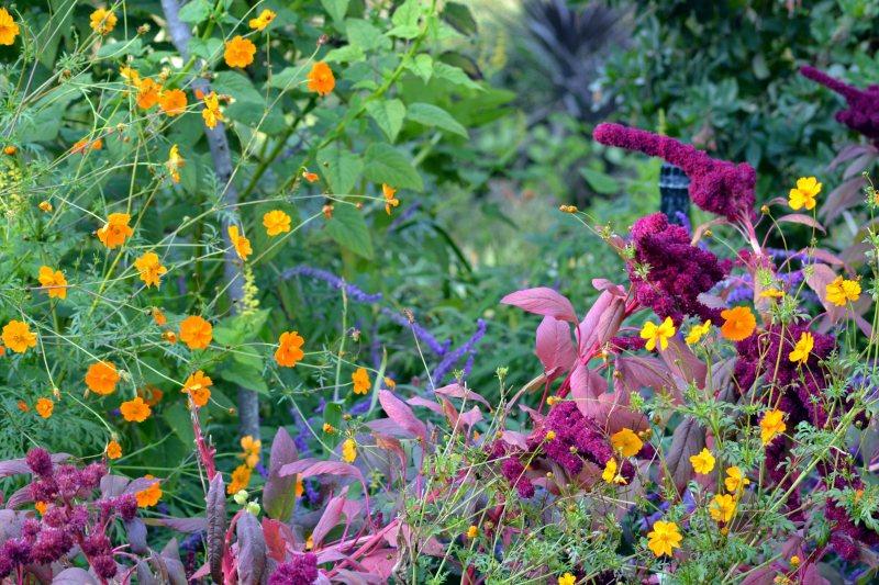 Fall-Amaranthus