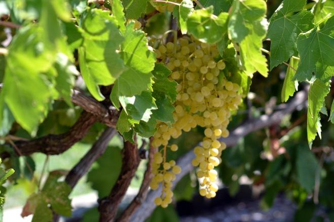 Grapes-Ripe-8_13