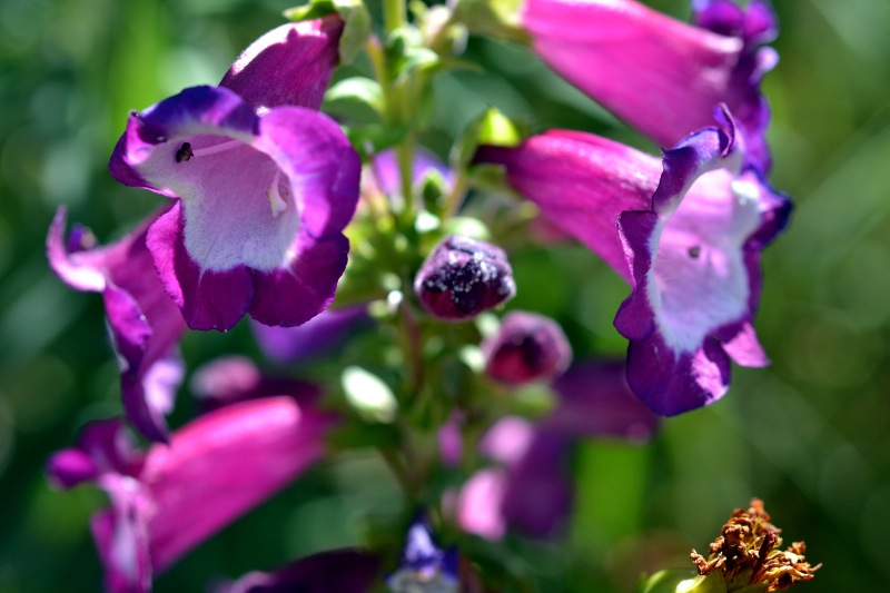 Penstemon-8_13