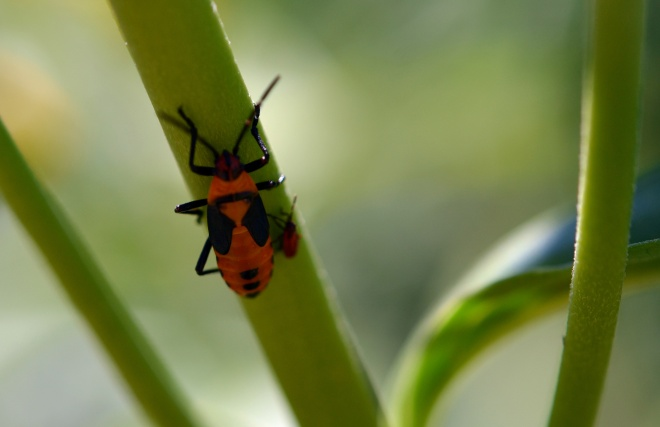 Red-Beetle-8_13