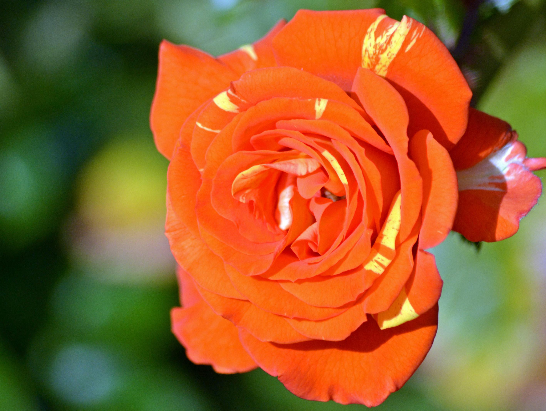 Orange   Gardens For Goldens