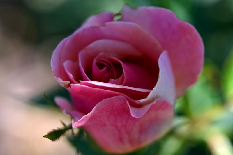 Rose-Pink-8_13