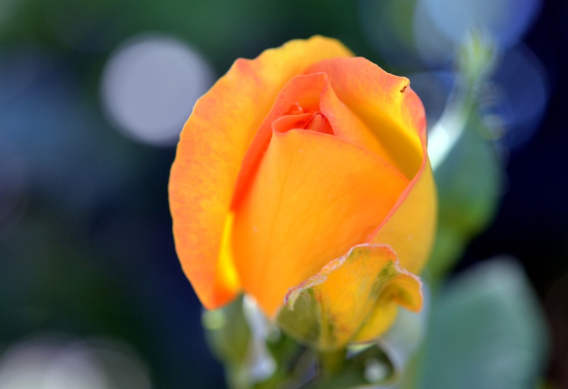 Rose-Yellow-Orange-8_13