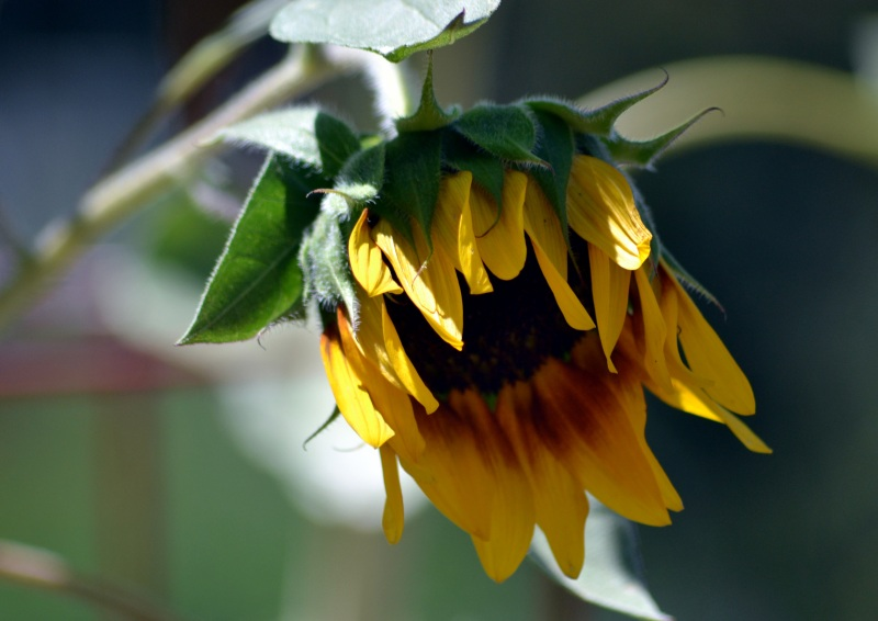 sunflower-2-8_13