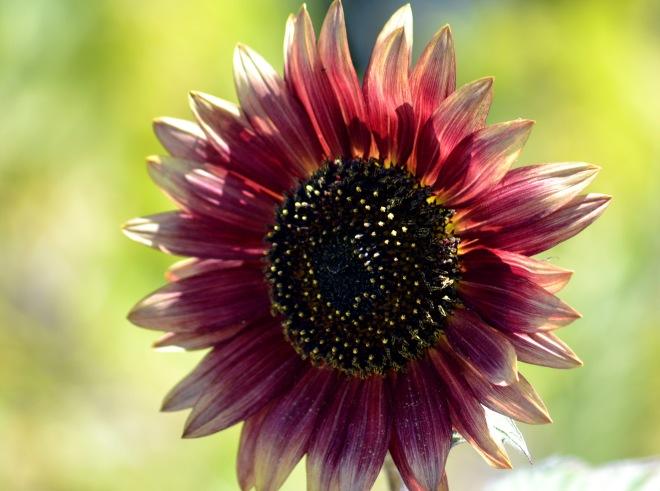 Sunflower-3-8_13