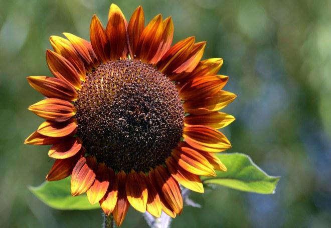 Sunflower-8_13