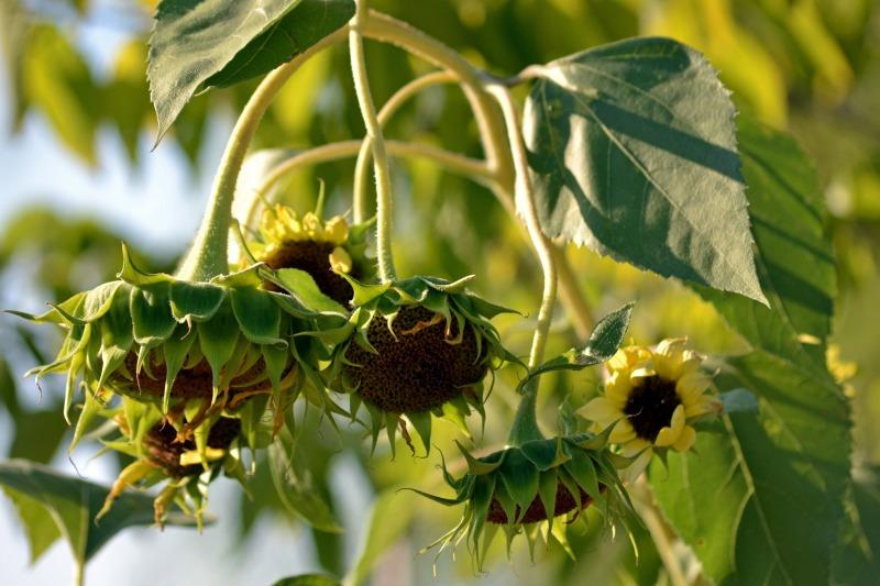 Sunflowers-Bowed-2-8_13